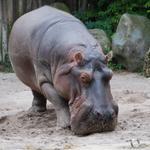 RT @eluniversocom: Un hipopótamo muere tras comerse una pelota de tenis en zoológico alemán: http://t.co/1gyYVHKcRv http://t.co/LN39ciJ0jV