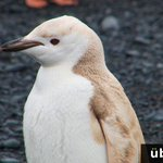 """@MatthewPerry : Look at this beauty! RT@UberFacts A rare""""blond""""chinstrap penguin was recently spotted in Antarctica.https://t.co/5byRaQt12S"""
