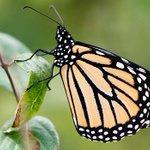 RT @CBCNews: Monarch butterfly population set to rise this year http://t.co/K2rjShKyZj via @CBCTechSci http://t.co/TAuThZJSHf