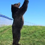 Smart grizzly bears can use tools to solve problems http://t.co/ISD6r3uN11 http://t.co/MNz5VpZ848