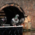 #Birmingham UK, pigeons laze about at Old Turn Junction. #photos @brumpic @Brindleyplace http://t.co/rSkcw5yx9z