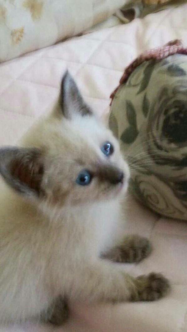 捨て猫、子猫をお友達が保護してます。家族に猫アレルギーがいて急いで里親探してます。シャムのような女の子です。飼える方はいませんか? http://t.co/JzI6icrWAY