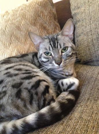 Pls check sheds etc - friend's cat, Tigger, lost. Manor Drive area Chorlton. If seen, pls call Adam 07595 602996.Thx http://t.co/hDUQBLpkn2