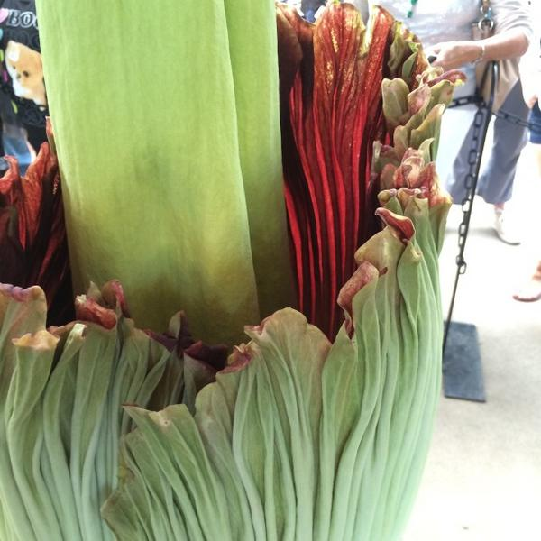 First peek inside the #CorpseFlower! Stand back, folks! http://t.co/wqMRiTofCt