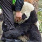 Panda aterrorizado tras el terremoto de Japón abrazado a la pierna de un policía. http://t.co/mN1R6xOZ7W