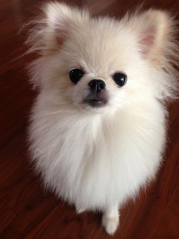 [RT부탁드리겠습니다]아는분이 길잃은 강아지를 데려오셨어요 포메라니안 흰색에 등에는 군데군데 노르스름한 털이 분포돼있어요 오전 9시경,산에서 강아지 잃어버리신분은 SNS로 연락주세요 꼭 주인을찾아주고싶어요ㅠ http://t.co/5Wm3r4rwhP