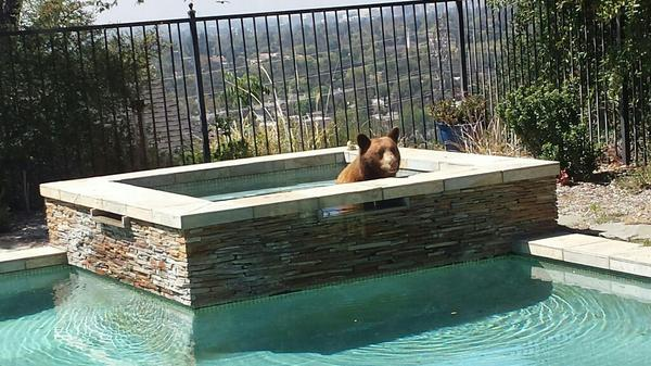 My backyard is now, apparently, a bear spa. Bear has just headed back into the woods, looking relaxed. http://t.co/usAG8GpBeN