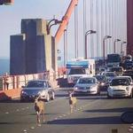 RT @SFist: Prancing deer! On the Golden Gate Bridge! http://t.co/RbCQtGyXOT http://t.co/HNVfvopDWI
