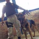 Si quieres adoptar a un perro policía jubilado, llama al 5208-9898 http://t.co/XI7ImHqyHU