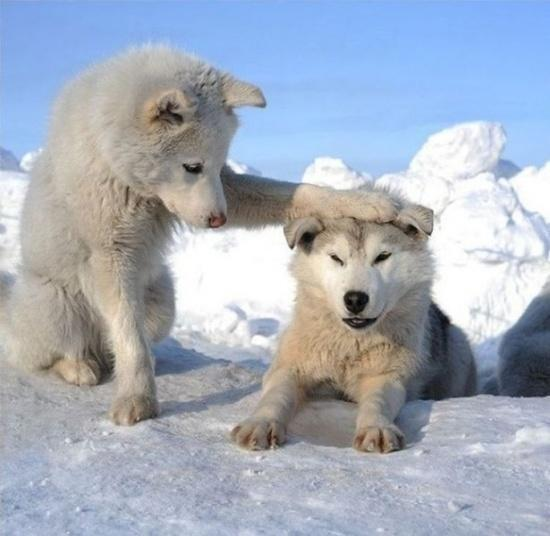 Supercute! Artic Wolf cubs! http://t.co/1F6EQPeAfT