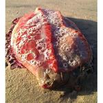 """RT @livedoornews: 【豪州】海岸で発見された""""謎の生物"""" http://t.co/qGDOju9j5n 大きさは約25センチで、外側にひれのようなものがある赤い生物は、ウミウシの一種と推測されているが、専門家も首をひねっている。 http://t.co/ViMO1JV8UJ"""