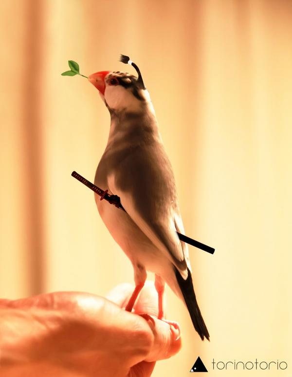 以前から、文鳥はちょんまげが似合いそう...と思っていたけど。 やっぱり似合った。  #ちょんまげ文鳥 #文まげ #文ちょんまげ http://t.co/CjNeBhI4ba