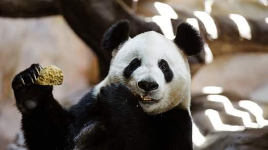 A giant panda has been accused of faking her pregnancy to get pampered and be given more buns http://t.co/jVgsOC6j33 http://t.co/1oKw6T0lvK
