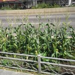 Were not in Kansas ♥ & well grow corn in #Brooklyn side walks if we want to!! #gardenchat http://t.co/xvOuTBqcxS