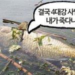 RT @newsvop: 지난 7월 낙동강 칠곡보 하류에서 발생한 물고기 떼죽음이 4대강 사업의 직간접적인 영향 때문에 발생했다는 정부 연구기관의 조사결과가 나와 주목됩니다. http://t.co/oSu6lZfmsY http://t.co/yVzN4xXJWz