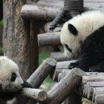 RT @JornalOGlobo: Panda acusado de fingir gravidez na China é inocentado. http://t.co/Ty3lImk8JP http://t.co/Zur3s7xLbG