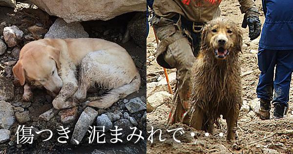 傷つき、泥にまみれ、広島で救助活動をつづける『災害救助犬』の姿16枚 http://t.co/zd9HCN44uu http://t.co/Cpe8h44Q3T