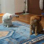 싱크로 나이즈드 그루밍 #고양이는_왜_이러는걸까 http://t.co/4sBbeoenPX