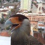 RT @g1: Carcará tem foto estilo 'selfie' em edifício de Poços de Caldas, MG http://t.co/vujsg5bLZt #G1 http://t.co/4naAIJAdYX