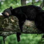 RT @g1: Urso é fotografado na maior preguiça em parque nos EUA http://t.co/vKEvhUyCMV #G1PlanetaBizarro http://t.co/ANS8FdABpy