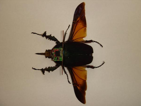 Read how researchers @UCBerkeley learned to control insects' flight using TI technology: http://t.co/X6PlB0pvZf http://t.co/Qfkcz9bOS7