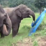RT @BuzzFeed: Rescued baby elephant discovers ribbon ... ~boogies into your heart~ http://t.co/xunjYoHGoz http://t.co/rslZDeQUnR