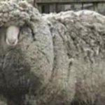 RT @ecuavisa: (VIDEO) La lanuda oveja que no pudo romper récord http://t.co/UKdnEvWc72 http://t.co/iH6gabrH15