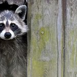 """RT @sabrinamanku: """"@CP24: Majority of Torontonians support euthanizing raccoons: poll http://t.co/sLkRzOwiK1 http://t.co/BMS8lz4cSs"""" WHY."""