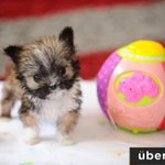 """""""Tyson"""" is a tiny dog that's about the size of a grapefruit. Hes only 4"""" tall. http://t.co/3bxdbsUrVV"""
