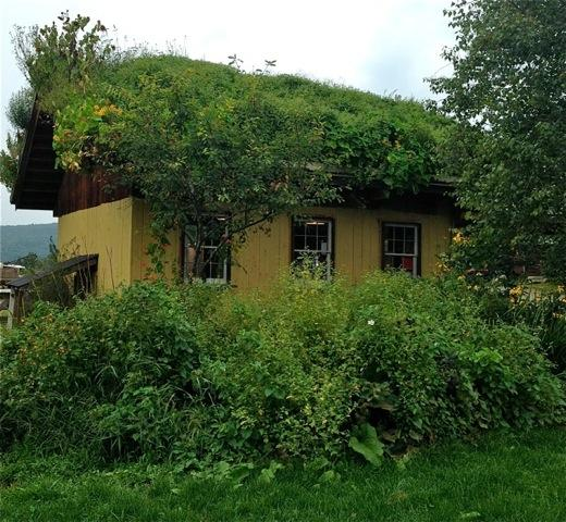 The edible roof at Pete's Greens farmstand in Craftsbury, Vermont: nasturtiums, sunflowers, amaranth, & beans. http://t.co/CrIXbofhiM