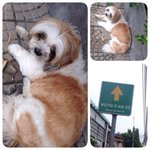 @js100radio พบสุนัขหลงทางแถวพระรามเก้า ท่าทางเชื่องมาก ตัวอ้วน ฝากช่วยแชร์หาเจ้าของหน่อยนะคะ ติดต่อเบอร์ 087-6960123 http://t.co/t3df67FNMy