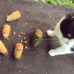 RT @myumyulovemyu: (*ºㅅº*)美味しいー!美味しいー!って食べている間に、途中でぼとって落としちゃう。松ぼっくり、大きくて重いからいつも落としちゃう。リスさん、かわいい。 (ΦωΦ)集めて置いておくと翌日にはなくなってるんだよ… http://t.co/6Ih25yHH2Z