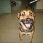 PlsRT2unite #FOUND DOG-8/30 #Toronto Animal Services A689014 WEST 416-338-6271 Black/tan German Shepherd M/?Old http://t.co/f4nmttcoX8