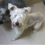 RT @PetfindToronto: PlsRT2unite #FOUND DOG-8/30 #Toronto Animal Services A689034 NORTH 416-338-8723 White Schnauzer M/?Old http://t.co/dIn5EQbmjM