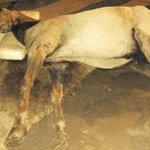 Muere caballo cochero en Cartagena tras desplomarse en zona turística de Bocagrande http://t.co/3DooZm45oU http://t.co/pdhSHszPv4