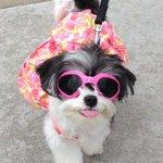 RT @TINKERBELLEadog: @ceotrillionaire woof thanks for the rt! Woof woof! #mbfw #tinkerbellethedog #nyc #fashionweek http://t.co/Lq9qB1q2jN