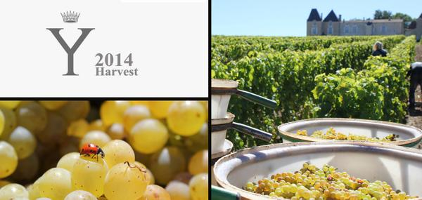 """A beautiful day to start harvesting grapes for """"Y"""", our dry white wine. http://t.co/LfbccyGqe1"""