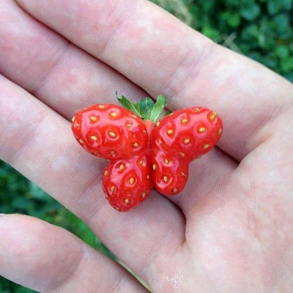 Amazing strawberry malformation: http://t.co/lYk77HOCpS