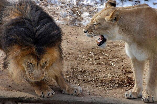 Even the king of the jungle knows not to upset his lady. http://t.co/u6k6dIu43v
