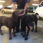 @Zapata_zos acabo de encontrar 2 Labradores machos #Hatillo #Caracas, favor RT no sé cuánto tiempo podré retenerlos http://t.co/zAZ3N4PSPn