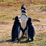 RT @MAGALLANICO_68: @tainitoon ,casorio pinguino en la #patagonia [FOTO] http://t.co/1UC1585tcS