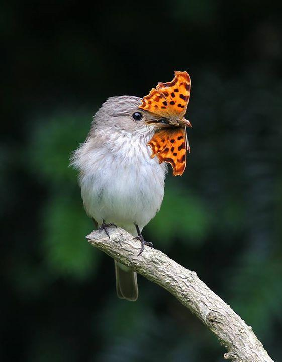Stunning photo alert - the talented Becky Johnson took this picture of a spotted flycatcher and his lunch! http://t.co/tFWA1YpUrC