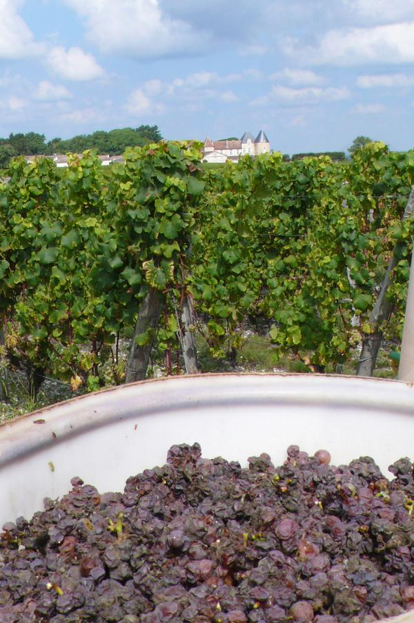 First wave of picking for Château d'Yquem 2014. #Harvest #NobleRot http://t.co/hWvdk7iGkF