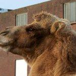 Al fietsend door #Tilburg stuitte ik op een kameel. Weet iemand waarom hij daar gedropt is? #dtv http://t.co/6ftGcCtTTt