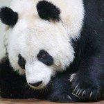 Escócia pode perder seus pandas em caso de vitória do 'sim' http://t.co/TCetgeIske http://t.co/uPtd2QnKVN