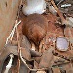 Mascote de lanchonete em MT, cão obeso é resgatado para tratamento http://t.co/I6BYi8P9kg #G1 http://t.co/Xb77VLAXBQ