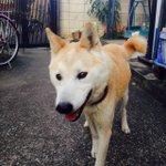 RT @wansuki1: RT @wansuki1: RT @naaaatsu_1029: 今日でりゅうのすけがいなくなって9ヶ月が経ちました。なにか情報があれば連絡ください。詳細は過去の記事にあります。ご協力よろしくお願いします。#拡散希望 #迷い犬 #柴犬 http://t.co/r3IrM5S1OX