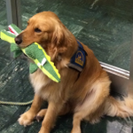 """""""@KTVU: Meet #SanFranciscos first courthouse dog. Faber will help victims cope with stress and trauma http://t.co/RiVmRoLmQe"""" GET FABER."""