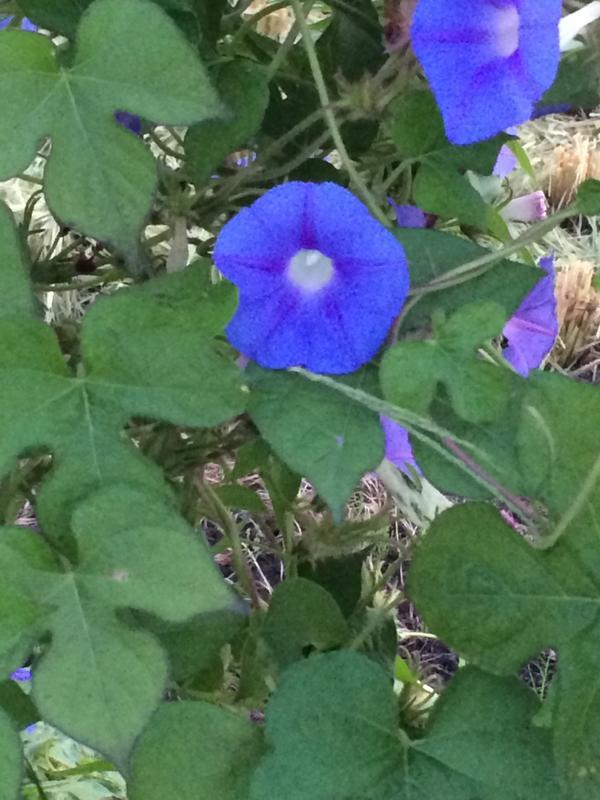 おはようございます。ウォーキング途中で咲いていた小さな朝顔です http://t.co/77Wvpfmbue