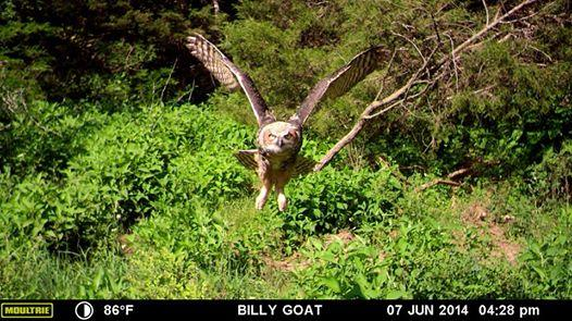Awesome picture of an Owl flying strait at the camera! #MoultrieMondays #Thisishowyouknow http://t.co/J6UBmG5t2A